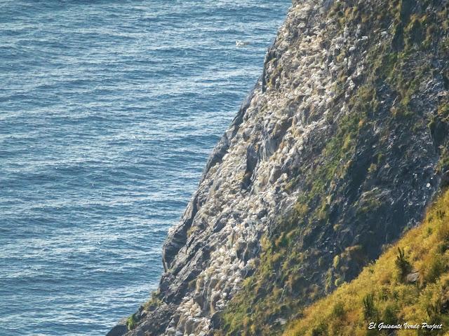 Gaviotas tridáctilas, Isla de Runde, Noruega por El Guisante Verde Project