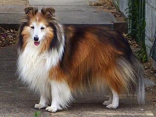 كلب الرعي الشتلندى