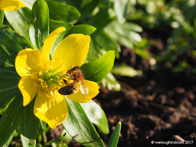 Honeybee on Aconite Flower by We Laugh Indoors
