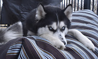 Black and white Siberian husky, paws draped over the edge of a large blanket as he peeks over the top with his blue eyes.