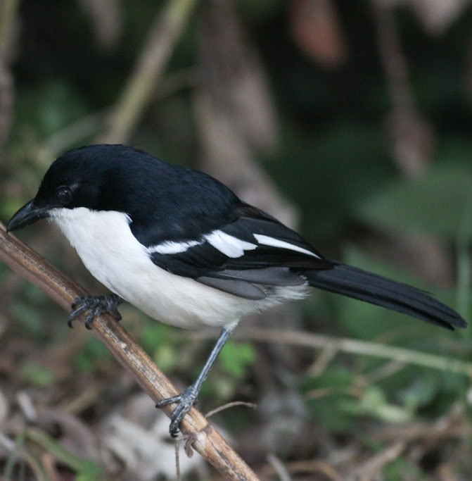 Picture of a tropical boubou bird.