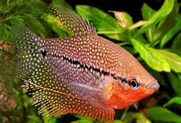 Ikan Hias Lace Gourami tubuh garis horisontal hitam