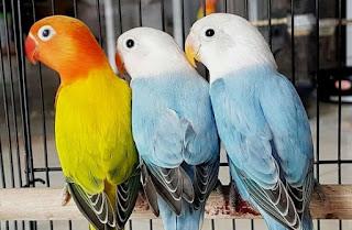 2 Cara Mencetak Jenis Lovebird Biola Euwing Paling Akurat Dan Mudah
