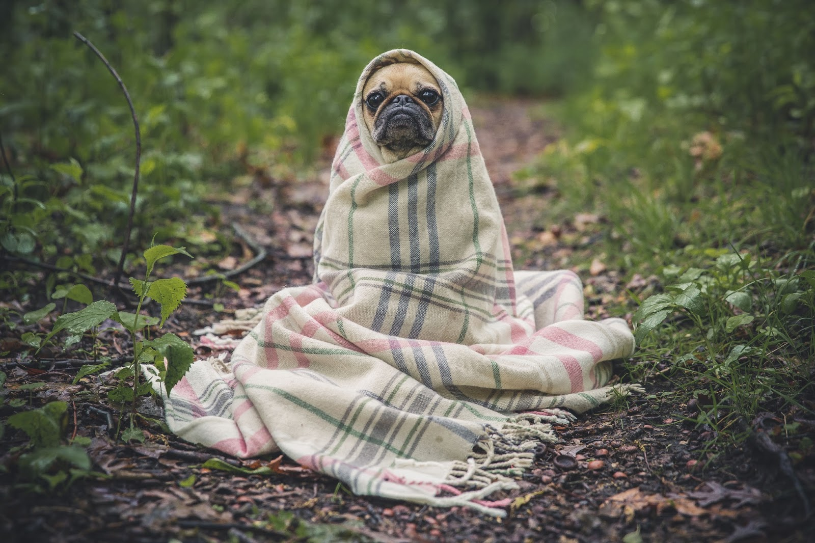 faking happiness in a relationship - grumpy pug dog wrapped in a blanket