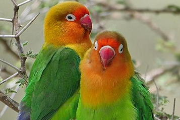 Lebih Dekat Dengan LOVEBIRD KACAMATA FISCHER / ( AGAPORNIS FISCHERI )