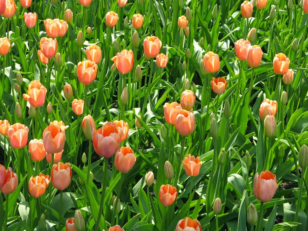 Royal Botanical Gardens pale pink tulips by garden muses-not another Toronto gardening blog