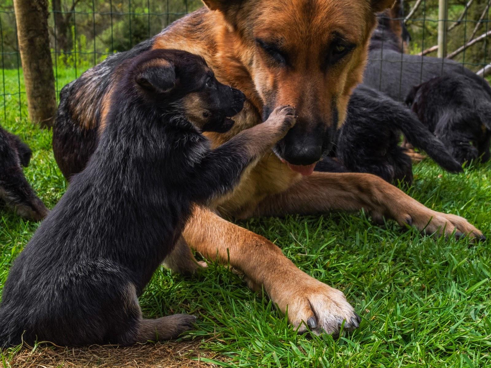 4 week old German Shepherd puppy pawing mom's nose.