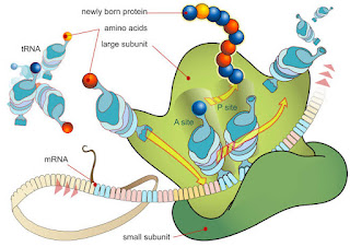 Ribosome : Defination, Structure, Functions , Types