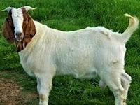 Mitos atau Fakta: Benarkah Daging Kambing Bikin Hipertensi