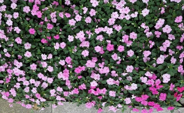 上海の公園の花壇に咲くインパチェンス