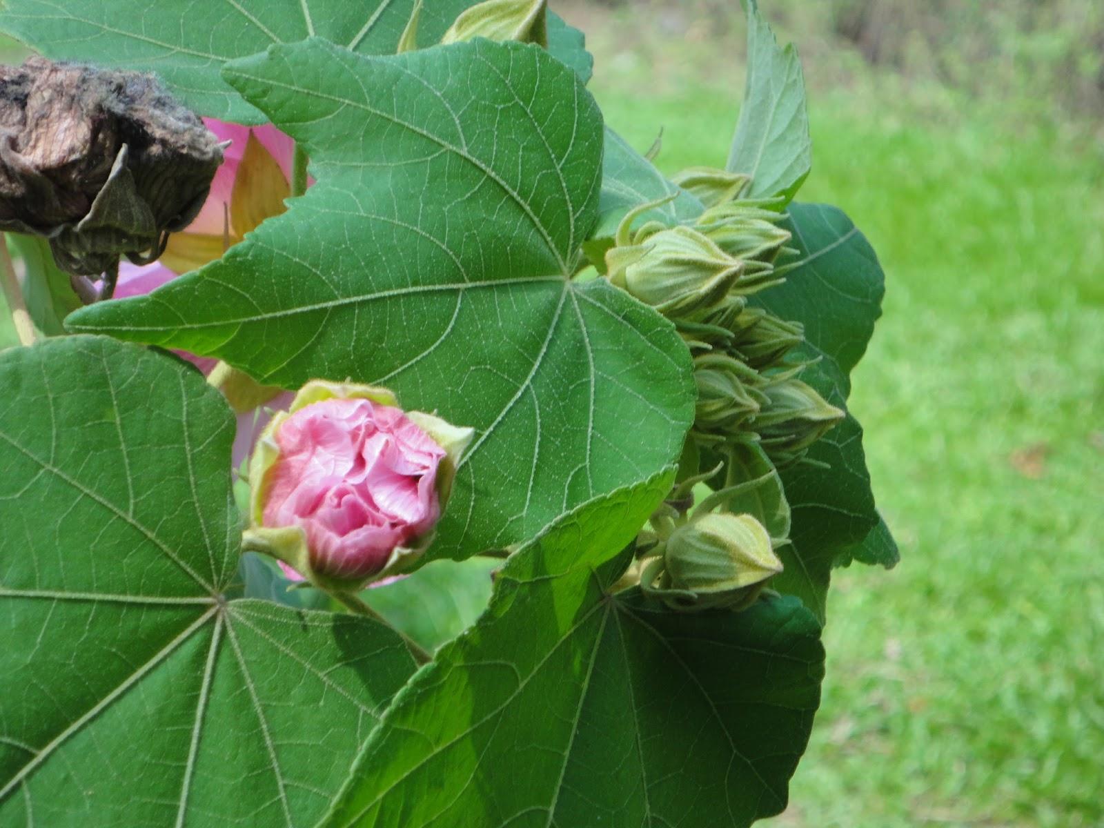 Sthol Padma Confederate Rose Hibiscus Mutabilis