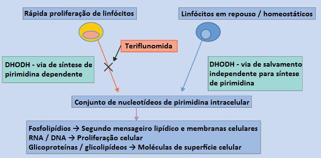 mecanismo teriflunomida esclerose multipla