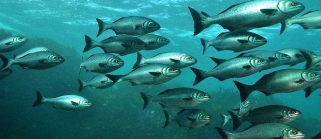 Migrasi Ikan Sungai