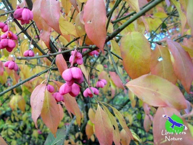 Fusain d'europe - Eunonymus europeaus, unis vers nature, stages plantes sauvages, Jura