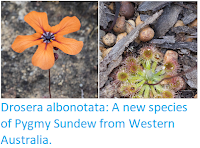 https://sciencythoughts.blogspot.com/2018/12/drosera-albonotata-new-species-of-pygmy.html