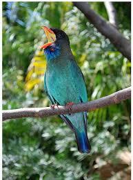 Dunia Burung Mengenal Burung Tengkek Buto