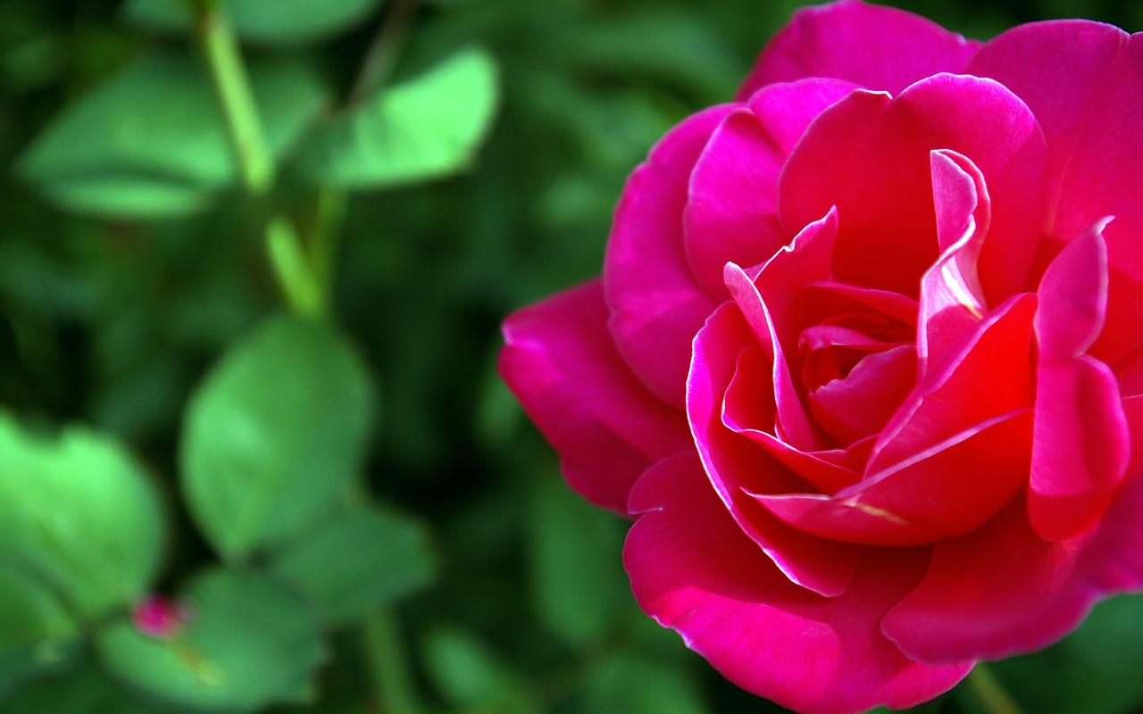 Big Beautiful Rose Flowers Wallpaper Desktop Hd 1280 X 800