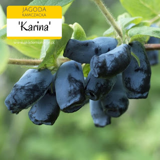 Owoce jagody kamczackiej odmiany Karina