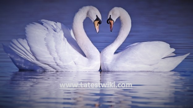 Swans...Beauty With Angelic Nature.