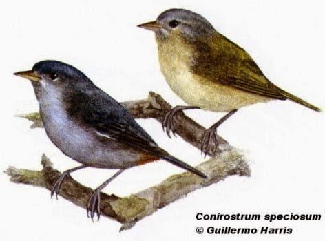 Saí común, Conirostrum speciosum