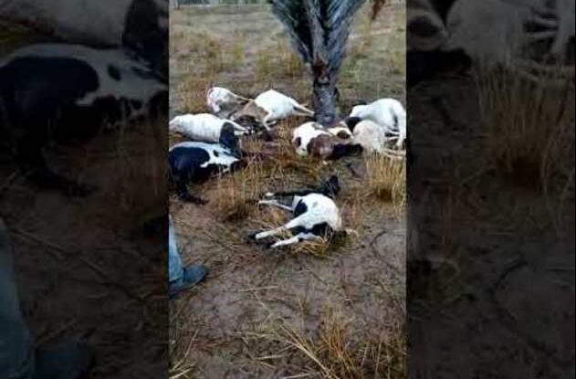 Bahia: Queda de raio provoca morte de dez ovelhas na zona rural de Campo Formoso