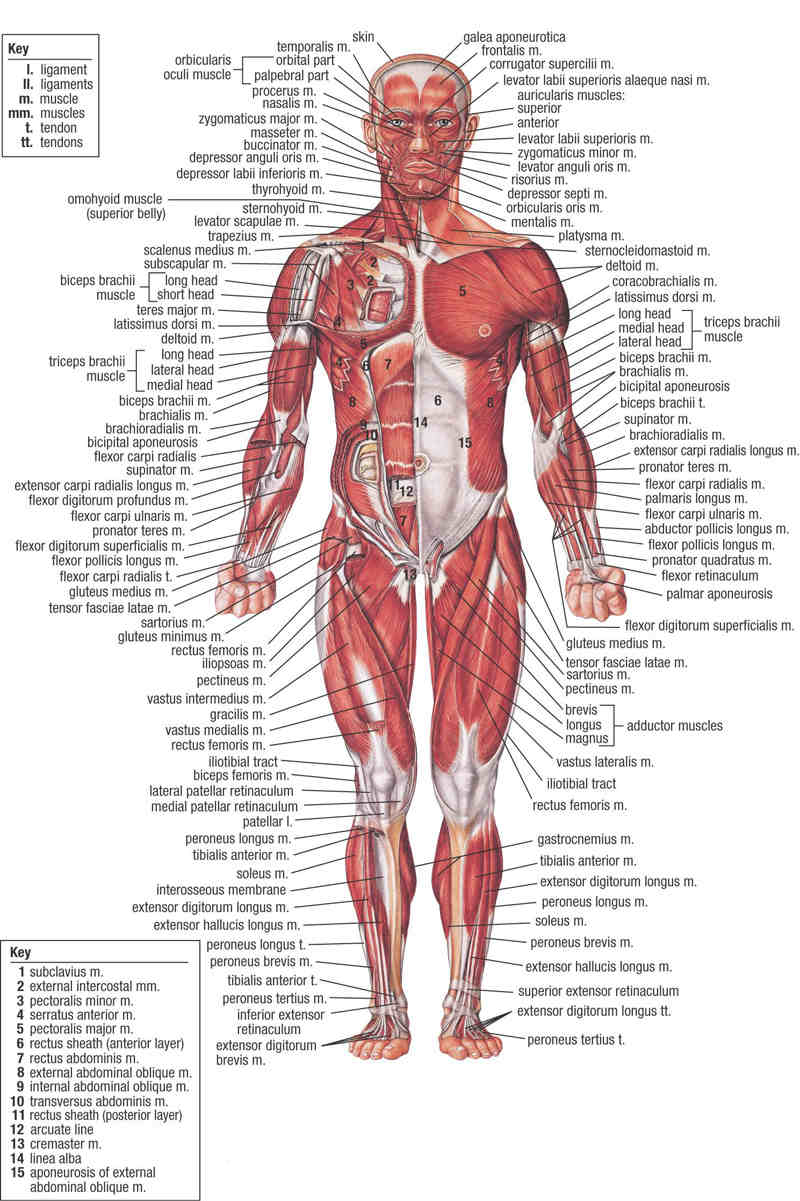 Human Body Anatomy with Label - coordstudenti