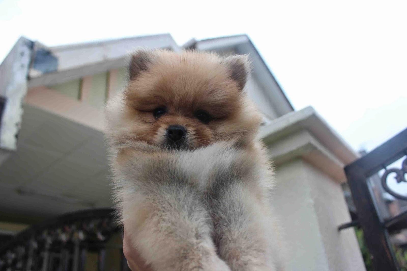 LovelyPuppy: 20140506 Orange Color Female Quality Pomeranian Puppy