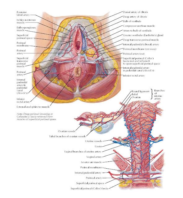 Arteries and Veins of Perineum and Uterus Anatomy