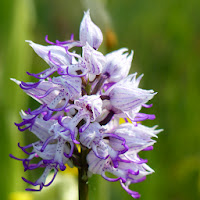 http://wild-flowers-of-europe.blogspot.nl/2014/11/orchis-simia.html