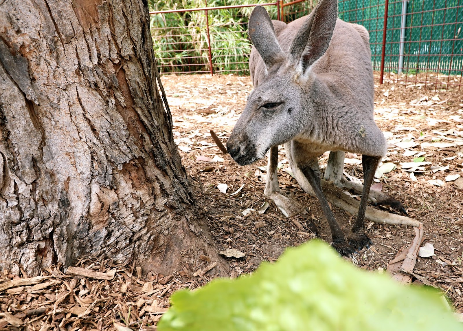 Feeding Kangaroos at the San Antonio Zoo