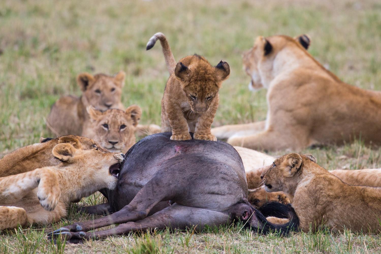 """Crías de león """"jugando con la comida"""""""