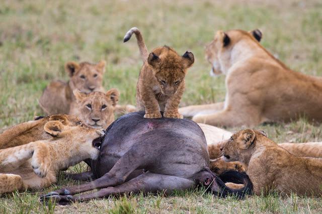 Leones comiéndose un ñu