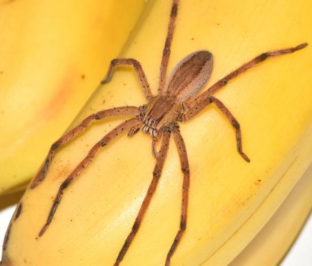 Banana spider Size