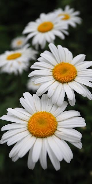 Những cánh hoa cúc họa mi trắng đẹp ngỡ ngàng
