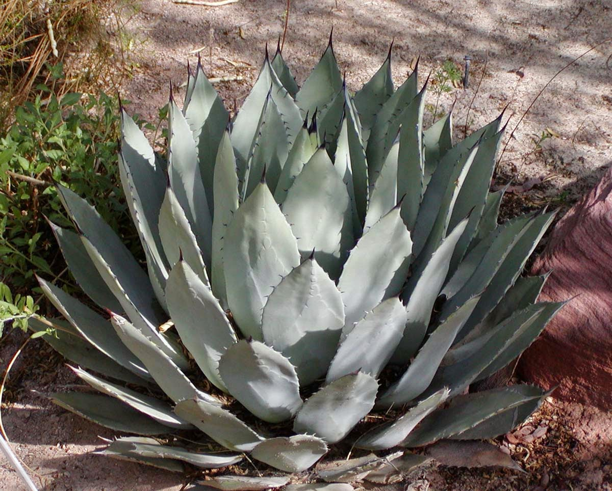 agave_plant