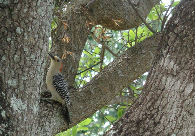 Woodpecker in a tree at Chapel Trail Nature Preserve