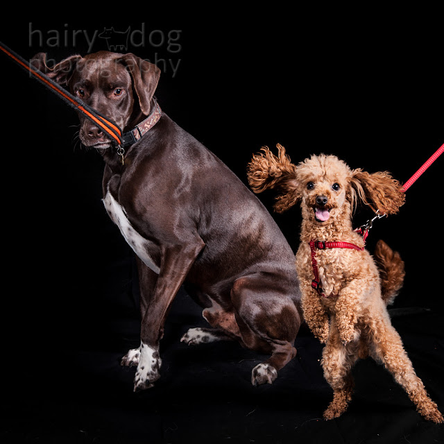 funny dog photo by hairy dog photography