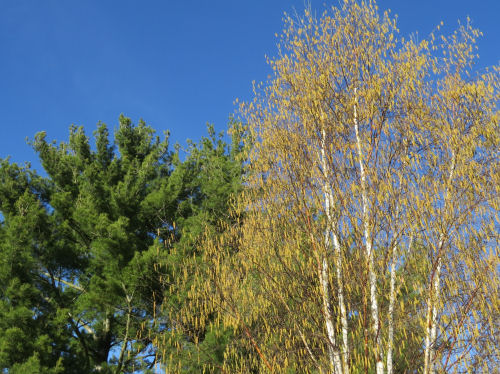 white birch tree with catkins
