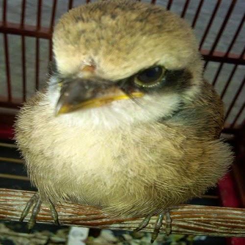 burung cendet atau pentet yang masih berusia  CARA MEMASTER BAKALAN CENDET ALA JAWARA DAN TOKCER
