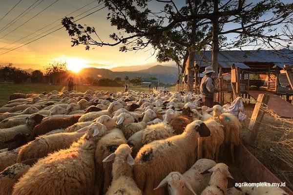 Fungsi dan Letak Kandang yang Baik Untuk Ternak Domba