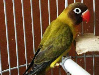 Tips Dan Cara Mudah Menghasilkan Anakan Lovebird Olive Paling Akurat