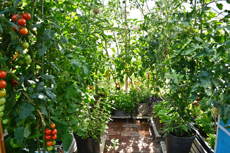 tomaatin-kasvatus-karaisu-kasvihuone