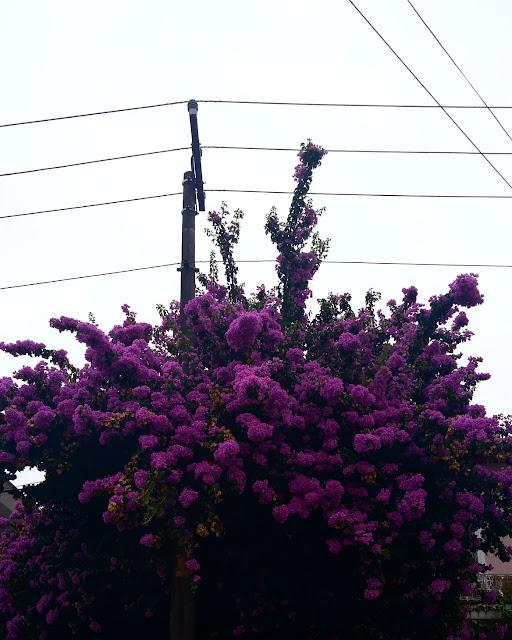 Algumas Observações | Árvore com flores roxas em dia nublado