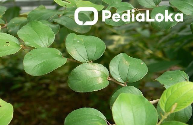 khasiat daun bidara untuk kesehatan tubuh