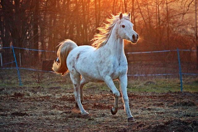 حصان أبيض قوي جدا يجري