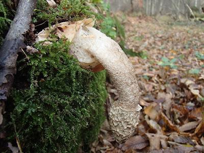 grzyby 2016, grzyby w październiku, grzyby w Puszczy Niepołomickiej, grzyby nadrzewne