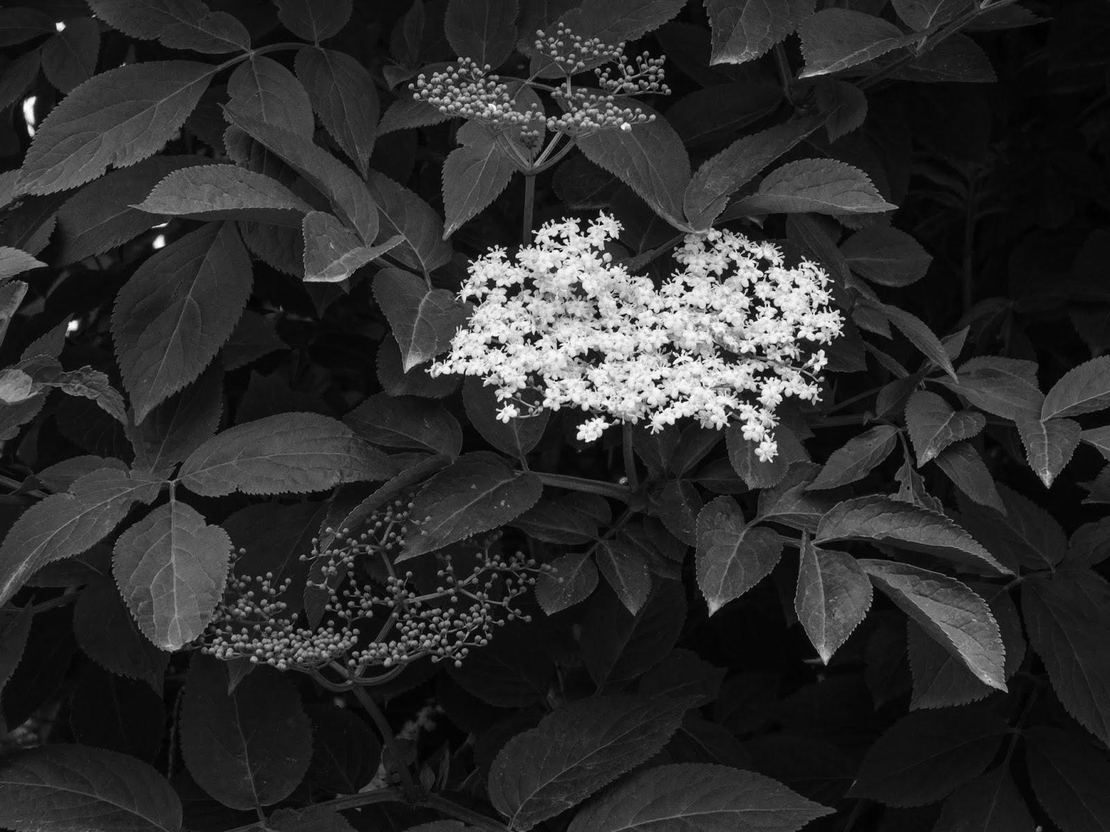 An Elderflower bush with a white flower head.