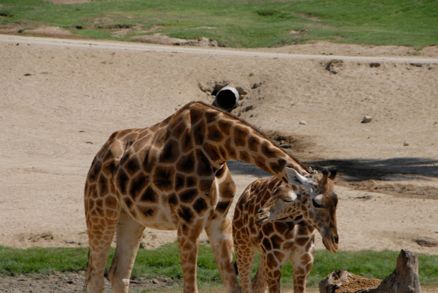 mother and baby giraffe on the plains: LadyD Books