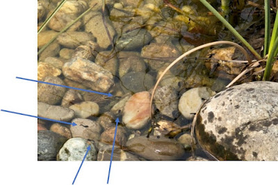 rocks in a pond with small tadpoles swimming in the water
