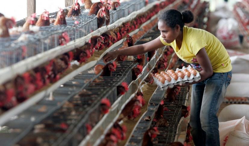 Tips Sukses Bisnis Ternak Ayam Petelur Modal Kecil ...
